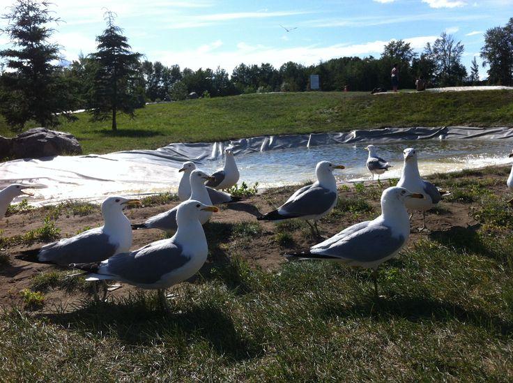 seagulls rotary park whitecourt ab