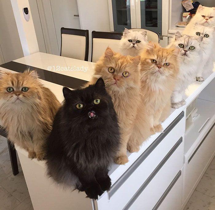 Cette 'Femme aux 12 chats' affole Instagram avec les photos de ses persans