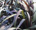 Proven Winners | Graceful Grasses® Vertigo® - Pearl Millet - Pennisetum purpureum