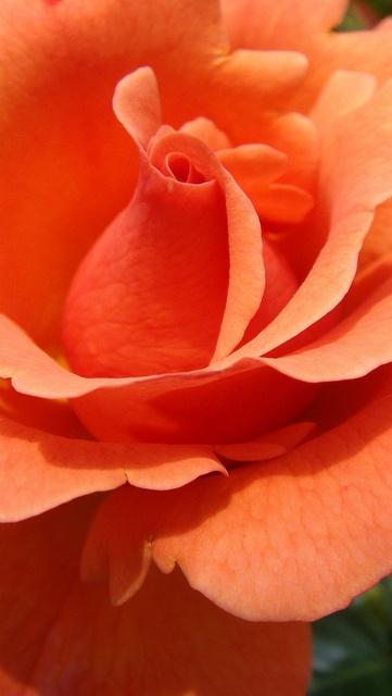 Dark Peach Rose <3