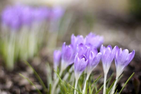1000 Images About Favorite Small Early Spring Bulbs On