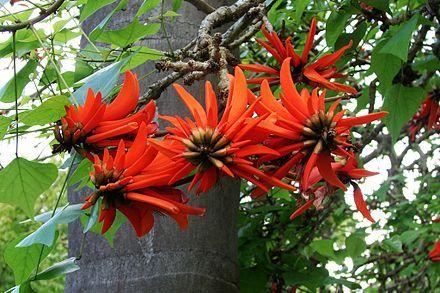 Bloemen van Erythrina lysistemon, Zuid-Afrika