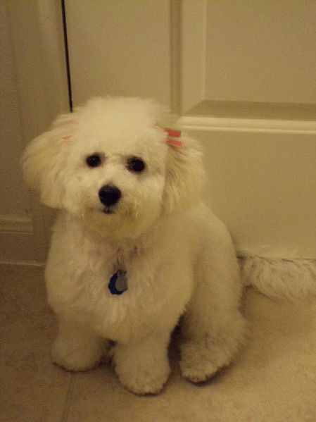 281 Best Love Love Bichon Frise Puppy Images On Pinterest
