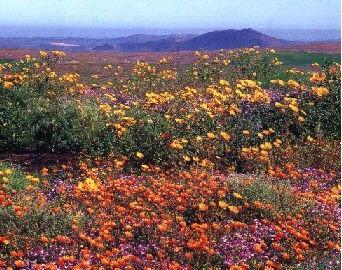 Namakwaland wild flowers.