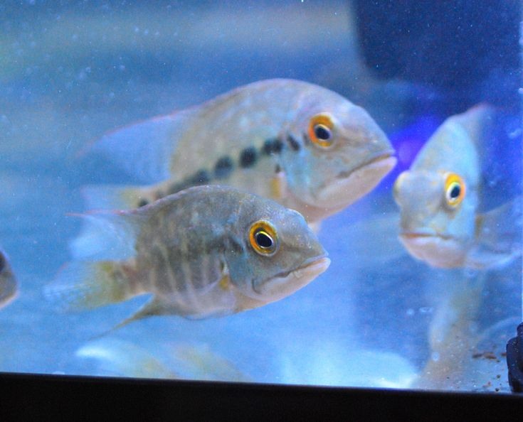 """Parrot Cichlid - Hoplarchus psittacus.  The Hoplarchus is the """"true Parrot Fish"""" and is one rare fish that isn't typically seen in the fish hobby.  This gorgeous fish is relatively peaceful for a cichlid though they can get territorial at times.    They prefer softer and more acidic water and must have a very good filtration system to keep these fish healthy!"""