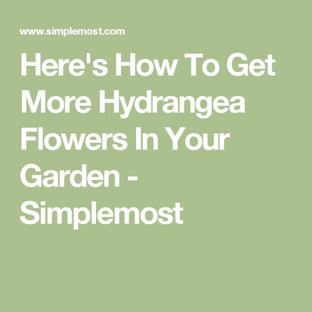 Here's How To Get More Hydrangea Flowers In Your Garden - Simplemost