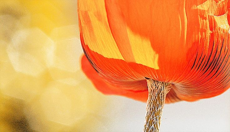 'Poppy' Nature Up Close Flowers #orange, #macro, #poppy, #flowers, #bokeh, #flower