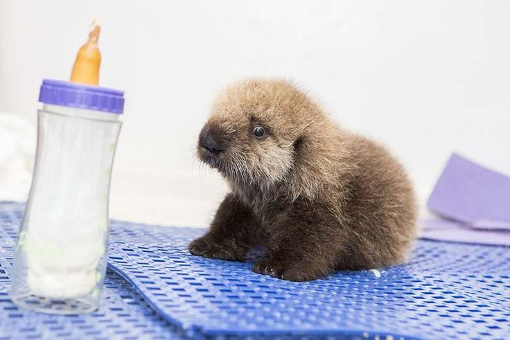 Shedd Aquarium (Chicago) staff foster sea otter pup - by far the cutest otter I've ever seen!!!