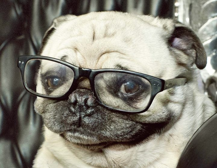 7 Cutest Dog Breeds In The World Cute Pugs Pugs Pug Pictures