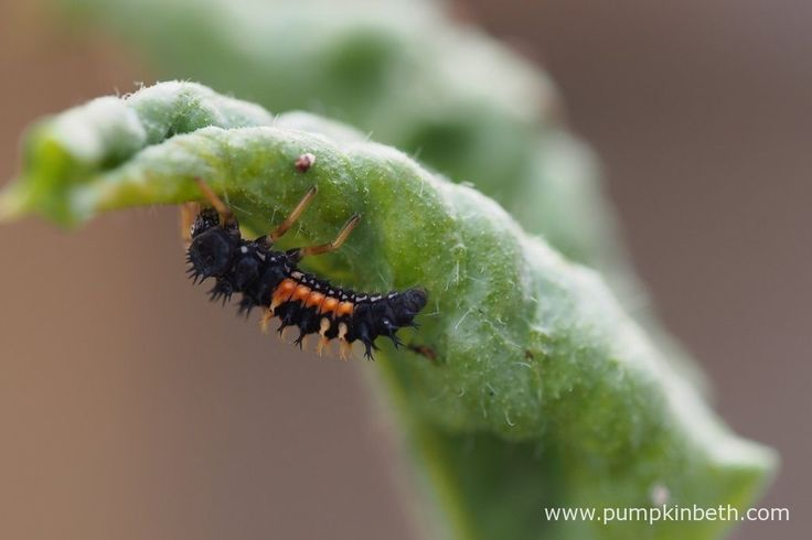 A Ladybird larvae pictured on a Lathyrus odoratus leaf, during the 2016 Sweet Pea Trial.