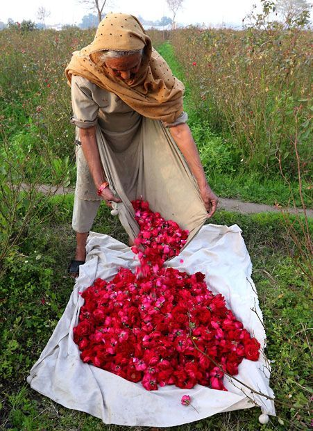 A Pakistani woman collects roses from a field on the outskirts of Lahore, Pakistan.