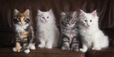 обои для рабочего стола 2171x1083 животные, коты, котята, ряд, диван, кожаный, трёхцветная, белые, четверо, пушистые, серый