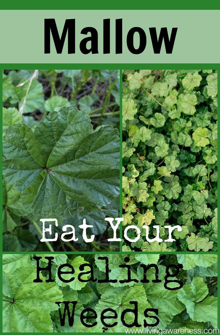 Healing Weeds Mallow