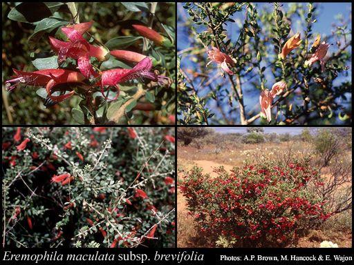 Eremophila maculata subsp. brevifolia (Native fuchsia) Low shrub 1m high x 1m across, trim to shape Red / pink flowers in winter Full sun / part shade Sand, tolerates salt / clay soils