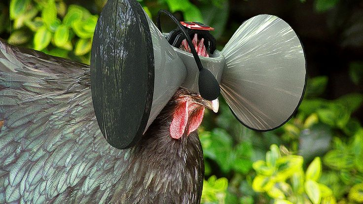 Virtual reality for chickens: welcome to the future of food