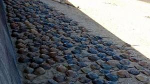 Ratusan Kepiting Tapal Kuda Mati Terdampar Di Pantai