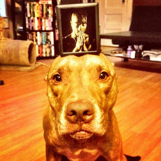 Best Funny Pics Of Scout The Most Composed Dog In The WORLD - Owners balances objects on dogs head