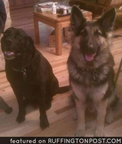 Cheryl Teague Getzinger Shared This is Duke (on left) and Ruger(on right) - http://www.ruffingtonpost.com/cheryl-teague-getzinger-shared-duke-left-rugeron-right/