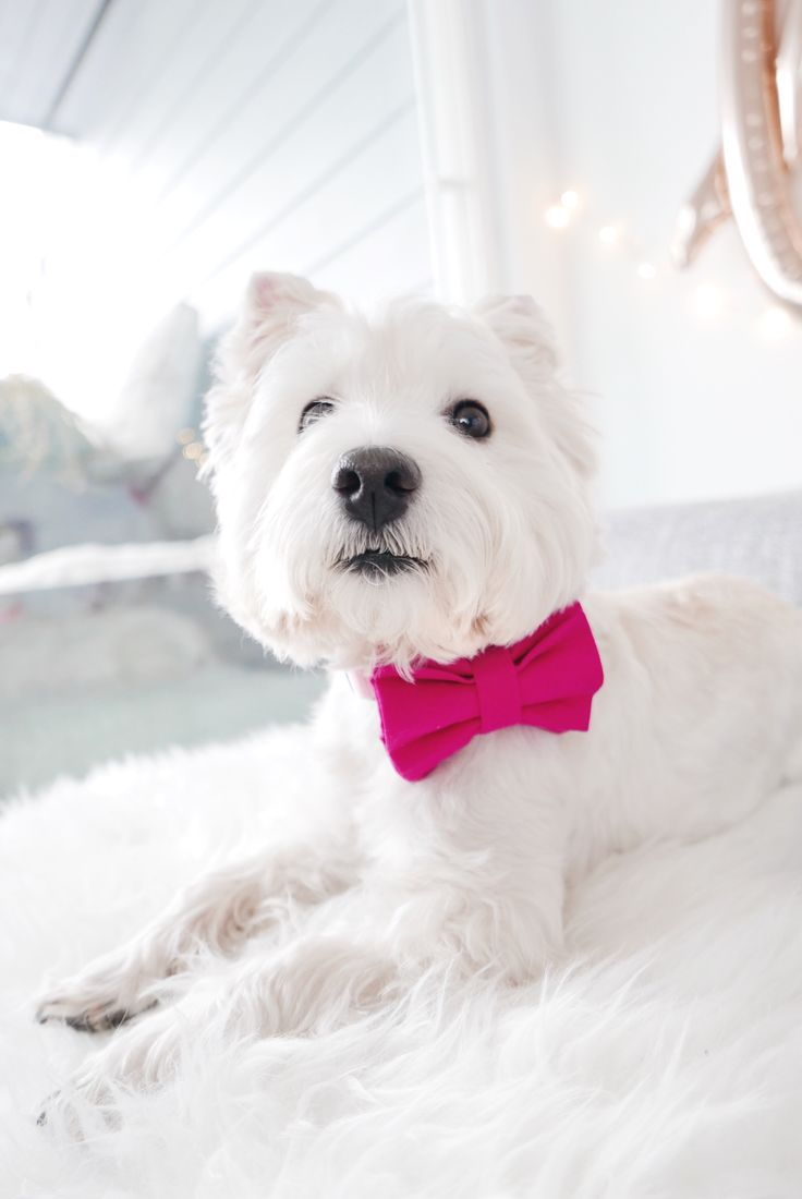 Great Valentine Bow Adorable Dog - 3ac17e566ee404a92b1e0fd52b6f8fce--dog-bowtie-westie-dog  Photograph_476471  .jpg