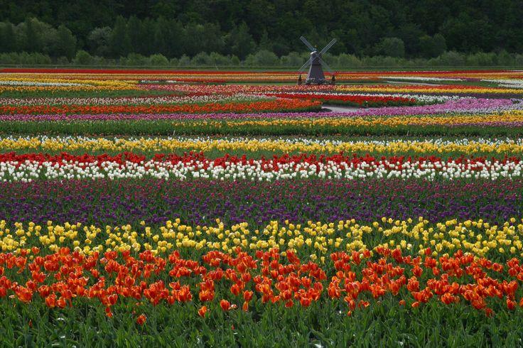 チューリップ公園:北海道 上湧別町 Tulip Park, Hokkaido, Japan