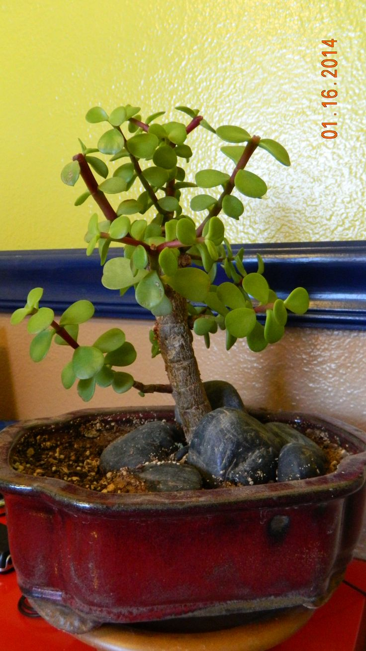 Portulacaria afra 39 elephant food 39 bonsai bonsai for Bonsais de interior