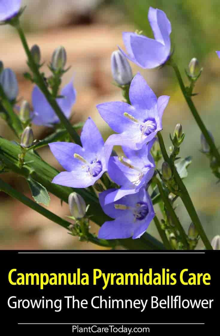 Campanula Pyramidalis Care Growing The Chimney Bellflower Flower Spike Bellflower Plant Tall Flowers