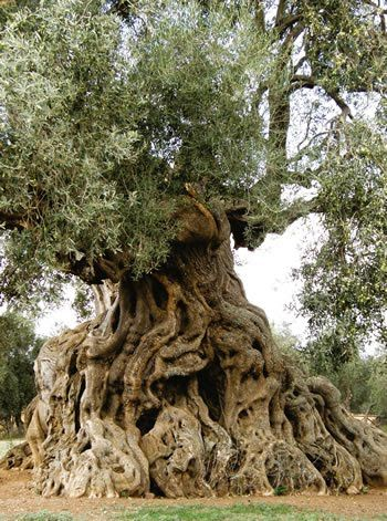 Olive Tree: sacred to the goddess Athena a crown of olive was gifted to the winner of the Olympic Games. The doors and the pillars of the Temple of Solomon were made ​​of olive tree and its oil was used in ceremonies of consecration to the Jewish priests.