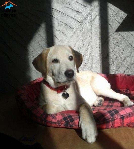 4 aylık dişi Labrador cinsi köpeğimi eşimin hamileliği nedeni ile yeniden sahiplendirmek istiyorum. Ona hak ettiği değeri, ilgiyi ve sevgiyi verebilecek, tercihen bahçeli bir evi olan, kesinlikle 18 yaş üstü kişilere ücretsiz olarak vereceğim... http://www.kopekdunyasi.com/ucretsiz-4-aylik-disi-labrador.html