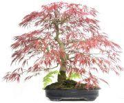 €2180, -  40 jaar oud  71cm hoog www.bonsai.de