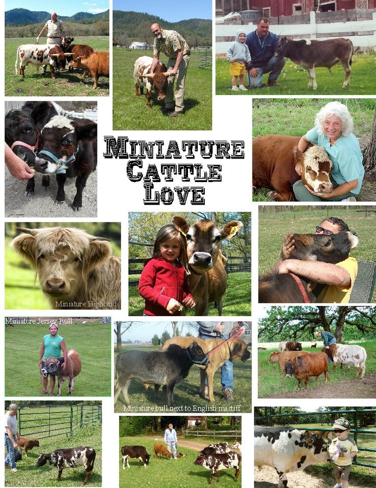 Miniature Cattle Love