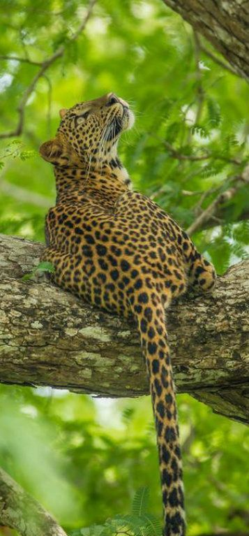 Leopard [Panthera pardus] is distributed from the snows of southern Siberia, across southern Asia and most of continental Africa. There many subspecied ie: the Amur leopards which are endangered.
