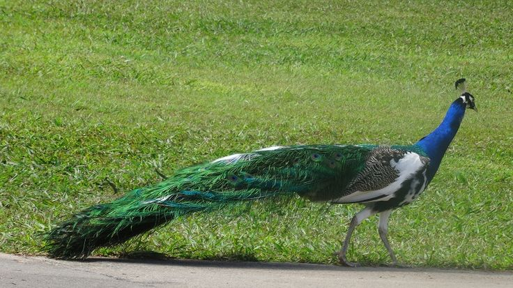 A beautiful peacock dropped by for a visit! #birds #peacock