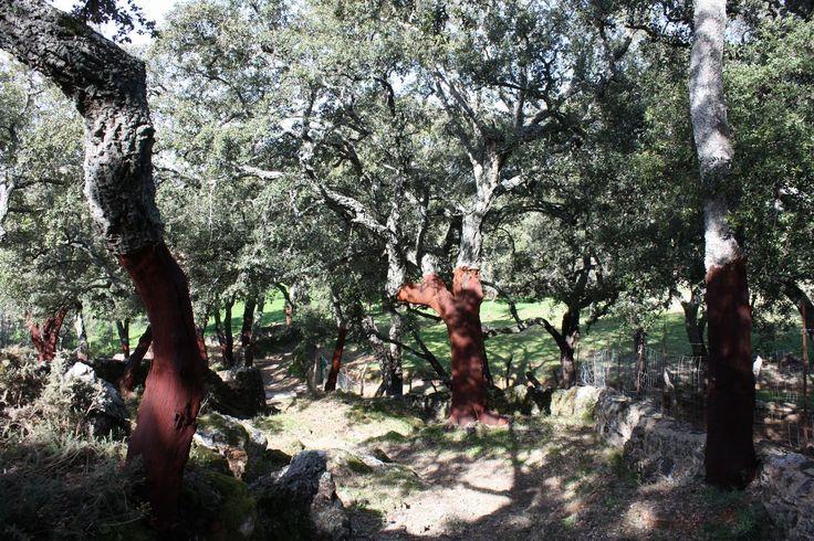 Chênes à gland #bellota dans les envierons de Linares de la sierra. Camino viejo de Linares a #Alajar