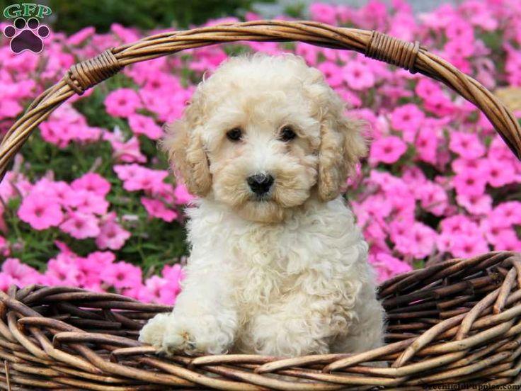 Cockapoo Puppies For Sale In Cedarburg Wisconsin 2021