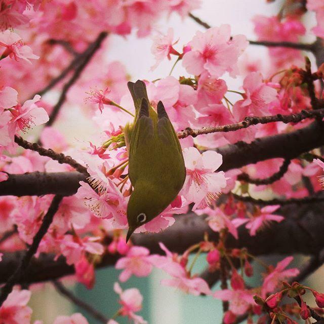 【zenystagram】さんのInstagramをピンしています。 《#桜 #春 #小鳥 #メジロ 散歩したら咲いてましたその2 逆光だったのでフィルタをかけてみるテスト》