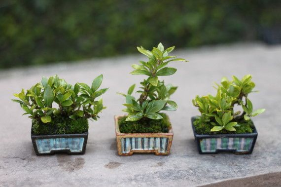 super mini bonsai                                                                                                                                                                                 More