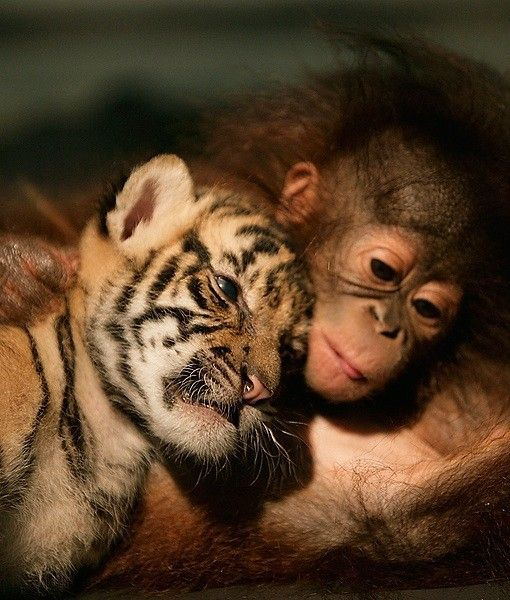 #PINdonesia <3 tIGERS & ORANGUTANS Workers at Indonesian zoo were leery about what would happen when they put two tigers together with a pair of orangutans. Turns out the combination creates a whirlpool of cute. The animals were placed in the same nursery after their moms abandoned them. The two sets of twins quickly became inseparable. They napped, played and ate together.