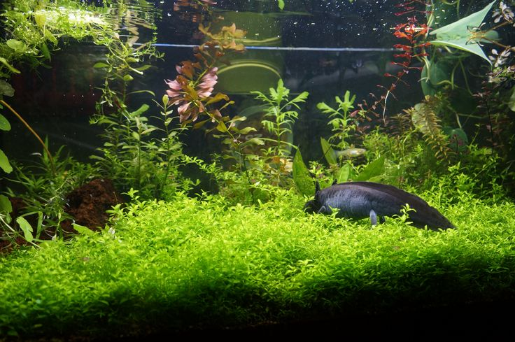 Axolotl in Planted Aquarium. Lots of soft plants is great for the axolotl and very beautiful