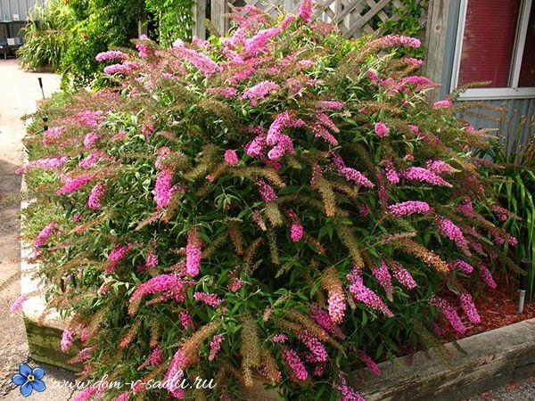 Лучшие кустарники цветущие все лето зимостойкие для участка. | Частный Дом