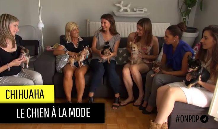 Le chihuahua, un chien à la mode ? (On est plus des pigeons !)