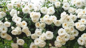 The 10 Best Climbing Roses for Your Garden: Iceberg