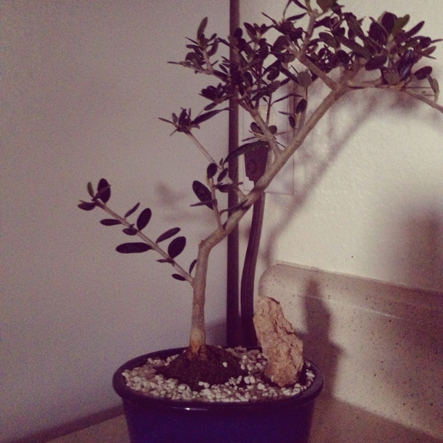 52 best bonsai trees images on pinterest bonsai bonsai for How to make an olive tree into a bonsai