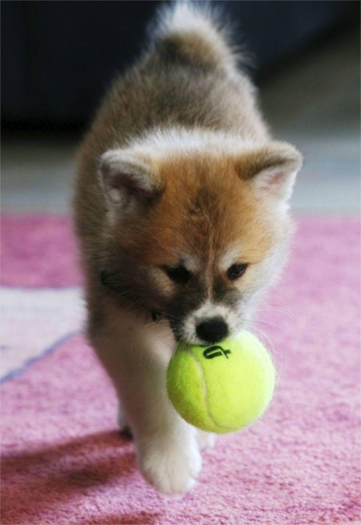 Download Akita Chubby Adorable Dog - 3ac5d4a70dd88fe0ed66c3ba18ae9d99--alpha-dog-akita-puppies  Image_38244  .jpg