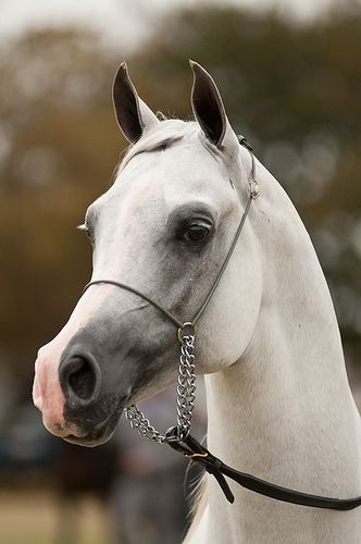 "Egyptian Arabian horse....just look at this ""Teacup"" nose on this beautiful specimen!"