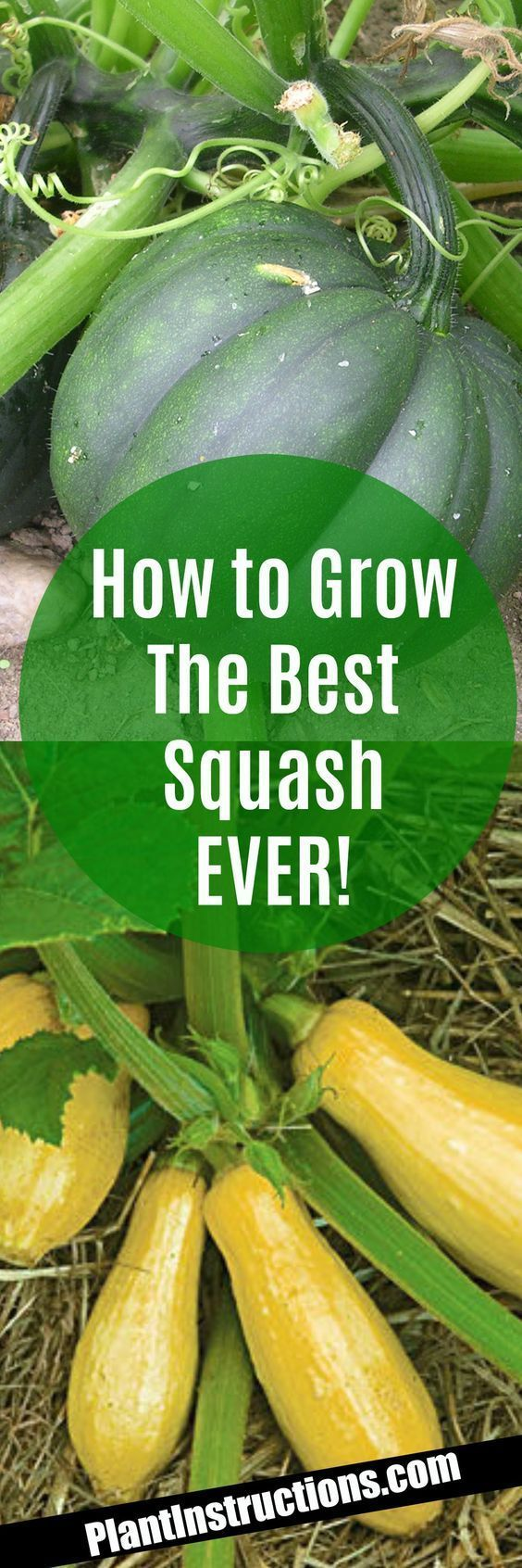 How to Grow Squash #smallspacegardening #OrganicGardening