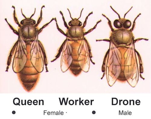 The Honey Bee Colony:  The hive consists of three castes of bees.  Queen• Fertile female responsible for the total population ~ Worker• Sterile female – does the work of the hive ~ Drone• Fertile male – exists to mate with queen