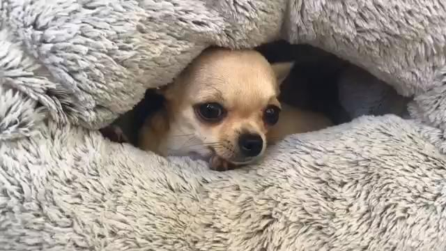 Tiny Chihuahua Has A Surprise Inside Her Snuggle Sack It S So