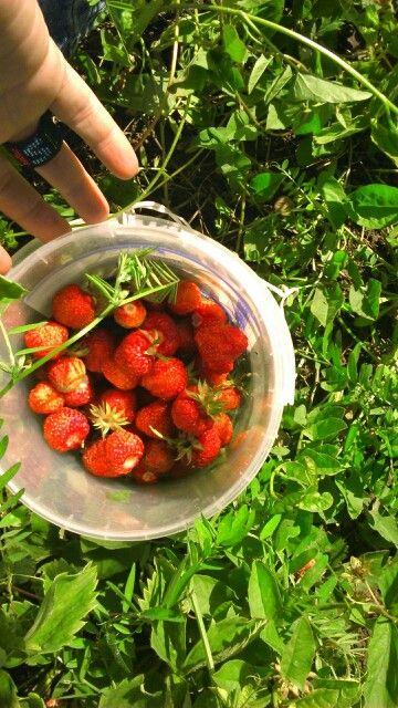 Strawberry picking on a Sunday