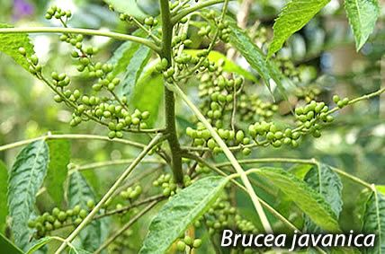 AMAZING MEDICINAL PLANT KILLS MALIGNANT TUMORS & DESTROYS BREAST CANCER CELLS. Brucea javanica is one of those plants on which scientific investigations have provided enough evidence to prove that it has an impressive efficacy for the treatment of cervical, bladder and pancreatic cancers. Its selective toxicity has also been found to kill 70% of breast cancer cells.
