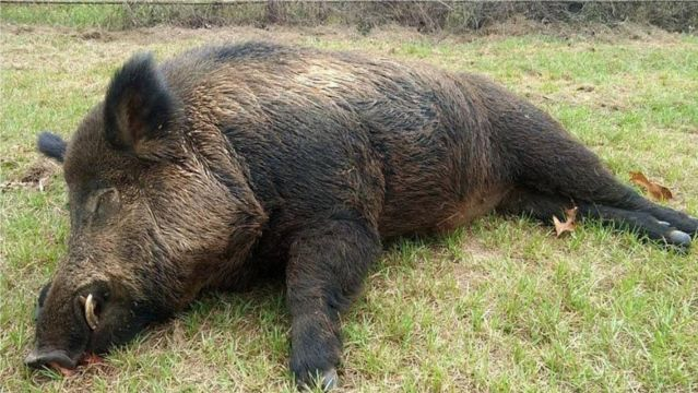 """Wild Hogs In Texas  An East Texas man was having an ongoing turf war for five years with a 416-pound feral pig he called """"the bush beast"""" that waswreaking havoc on his land and killing fawns on his property. That hog soon learned why you should never mess with a Texan and his hunting property.    Fox Newsreports that Joe Clowers, of Union Grove, Texas, tries to keep his property """"like a sanctuary or nursery for the deer to raise fawns,"""" but the massive hog was wreaking havoc by feasting…"""
